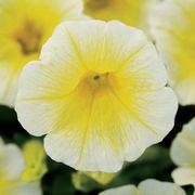 Shock Wave® Yellow Petunia Seeds Thumb