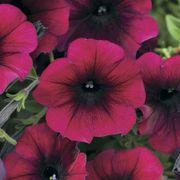 Easy Wave® Burgundy Velour Petunia Seeds Thumb