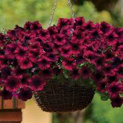 Easy Wave® Burgundy Velour Petunia Seeds Alternate Image 1
