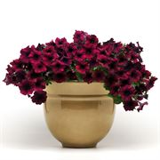 Easy Wave® Burgundy Velour Petunia Seeds Alternate Image 2