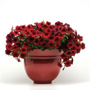 Easy Wave® Red Velour Petunia Seeds Alternate Image 1