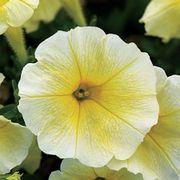 Easy Wave® Yellow Petunia Seeds Thumb