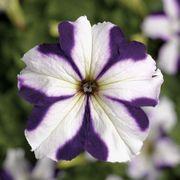 TriTunia™ Blue Star Hybrid Petunia Seeds Thumb