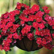 Mediterranean XP Dark Red Vinca Seeds Thumb