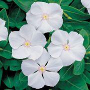 Pacifica XP White Vinca Seeds Thumb