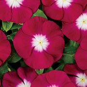 Pacifica XP Burgundy Halo Vinca Seeds Thumb