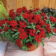 Profusion Red Zinnia Seeds Thumb