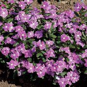 Cora® Lavender Vinca Flower Seeds Alternate Image 1