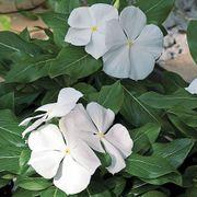 Cora® White Vinca Flower Seeds Alternate Image 1