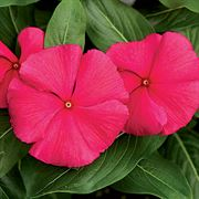 Cora® Punch Vinca Flower Seeds Thumb