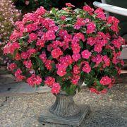 Cora® Cascade Cherry Vinca Seeds Thumb