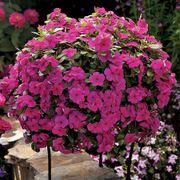 Cora® Cascade Magenta Vinca Flower Seeds Thumb