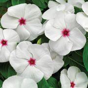 Cora® Cascade Polka Dot Vinca Seeds Thumb