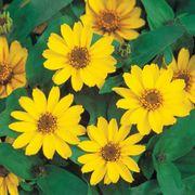 Profusion Yellow Zinnia Seeds Thumb