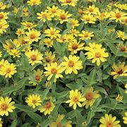 Profusion Yellow Zinnia Seeds Alternate Image 1