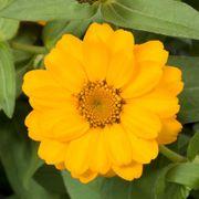 Profusion Double Golden Zinnia Seeds Alternate Image 1
