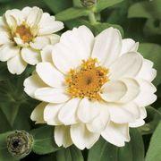 Profusion Double White Zinnia Seeds Thumb