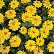 Profusion Double Yellow Zinnia Seeds Alternate Image 2