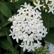 Lucky Star® White Pentas Seeds Thumb