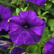 Combo Blue Petunia Seeds Thumb