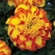 Flamenco Marigold Seeds Thumb