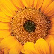 Vincent's® Fresh Hybrid F1 Sunflower Seeds Thumb