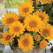 Vincent's® Fresh Hybrid F1 Sunflower Seeds Alternate Image 1