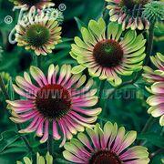 'Green Twister' Coneflower Seeds Thumb