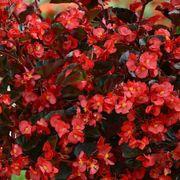 Megawatt™ Red Bronze Leaf Begonia Seeds Thumb