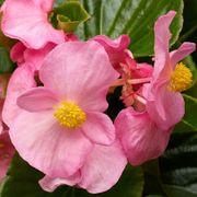 Tophat™ Pink Green Leaf Begonia Seeds Thumb