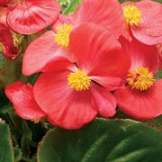 Tophat™ Scarlet Green Leaf Begonia Seeds Thumb