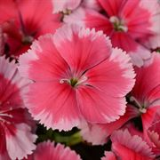 Coronet™ Strawberry Dianthus Seeds Thumb