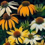 Mellow Yellows Coneflower Seeds Thumb