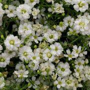 Gypsy White Improved Gypsophila Seeds Thumb