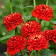 'Zinderella Red' Zinnia Seeds Thumb