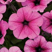 Easy Wave® Rose Fusion Petunia Seeds Thumb