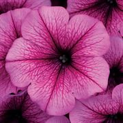 Easy Wave® Rose Fusion Petunia Seeds Alternate Image 1