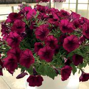 Picobella™ Cascade Burgundy Petunia Seeds Alternate Image 1