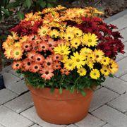 Akila® Sunset Shades Osteospermum Seeds Alternate Image 1