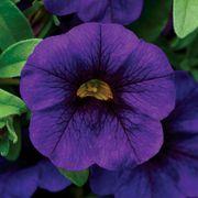 Kabloom® Blue Calibrachoa Seeds Thumb