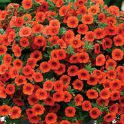 Kabloom® Orange Calibrachoa Seeds Thumb