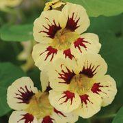'Chameleon' Nasturtium Seeds Alternate Image 1
