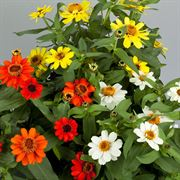 Profusion Double Sunrise Mix Zinnia Seeds Alternate Image 2