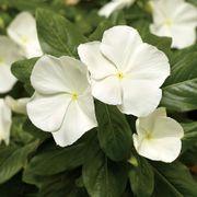 Cora® XDR White Vinca Seeds Thumb