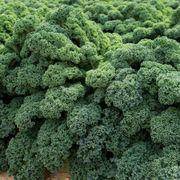 Darkibor Kale Seeds Thumb