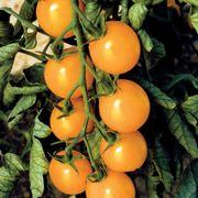 Sweet Gold F1 Cherry Tomato Seeds Thumb