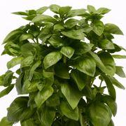Everleaf Genovese Basil Seeds Thumb