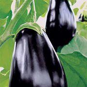Amadeo Eggplant Seeds Thumb