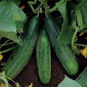 Patio Snacker Cucumber Seeds Alternate Image 2