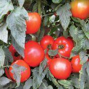 Mountain Merit Hybrid Tomato Seeds Thumb